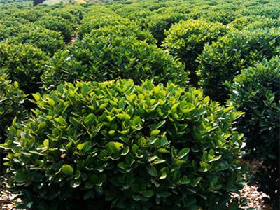 造型树,造型树类,大叶黄杨球销售