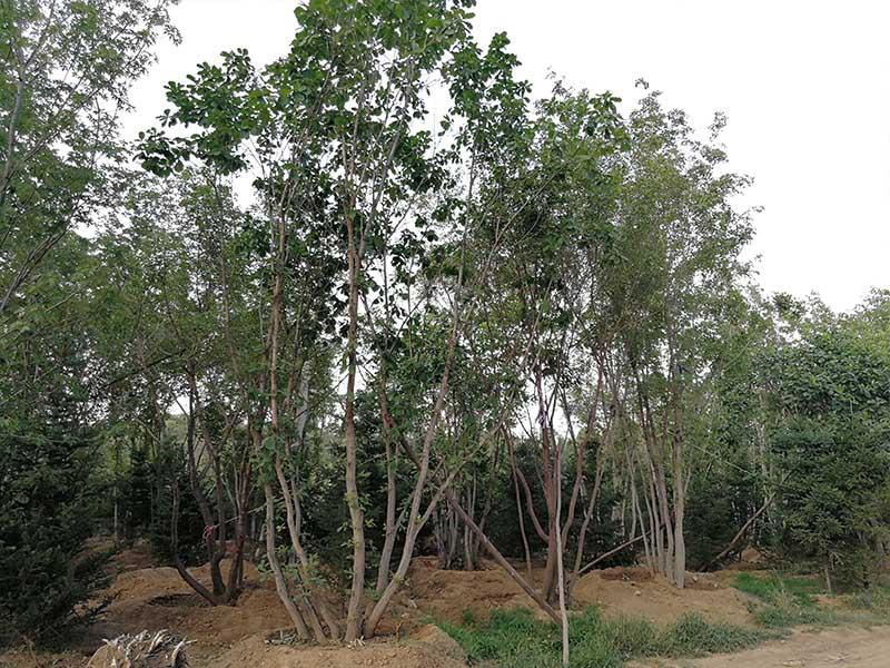 山东丛生蒙古栎基地前期种植应准备哪些步骤!