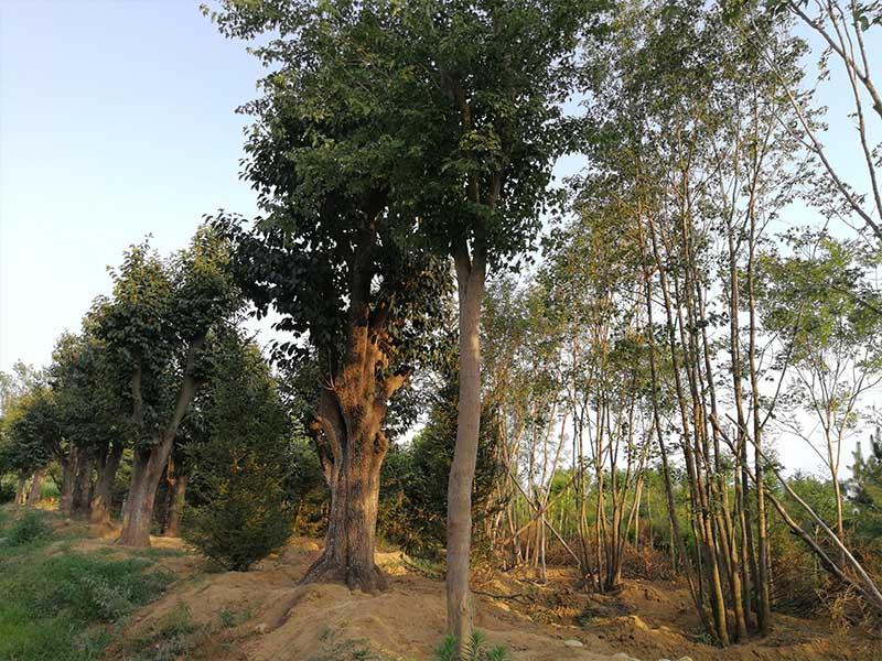 太不可思议了-山东泰安丛生五角枫竟然如此奇妙!