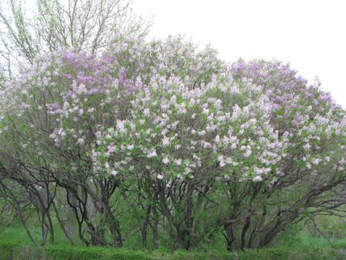 具有口碑的丁香花,哪里有卖 丛生丁香多少钱