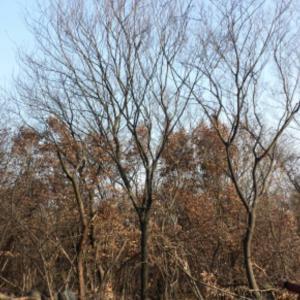 优质朴树当选泰安春阳苗木