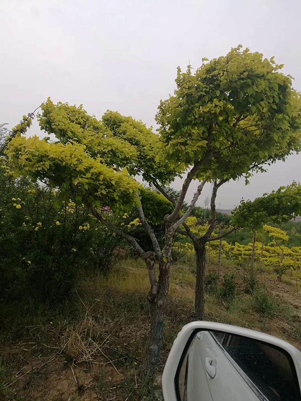 铁岭苗木产品价格-超值的绿化苗木出售
