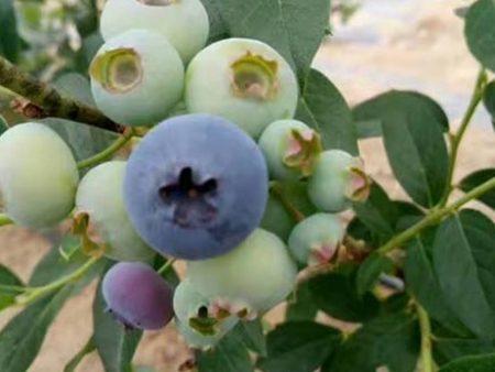 朝阳新鲜蓝莓_划算的新鲜蓝莓供应
