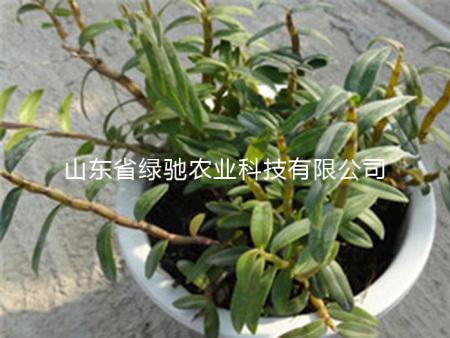 鐵皮石斛盆栽批發商+鐵皮石斛盆栽銷售商=【綠馳】