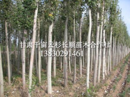 西北樟子松种植-定西樟子松上哪买