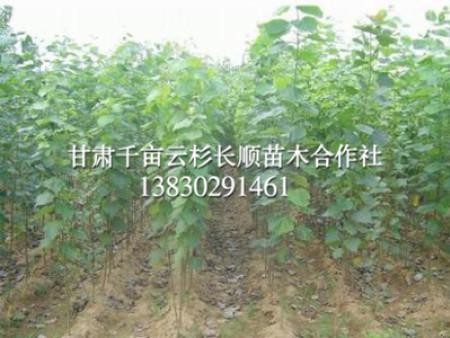 甘肃樟子松苗木-供应品种好的樟子松
