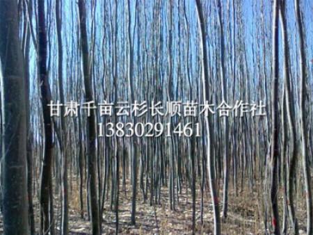 定西樟子松种植-想要优惠的樟子松就来甘肃云杉长顺苗木