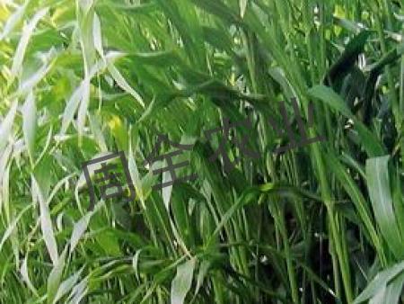 保土护坡防水土流失还能作饲料的紫穗槐!