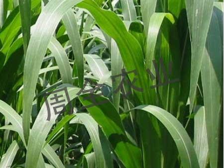 禾本科牧草墨西哥玉米草在山东宁阳的长势