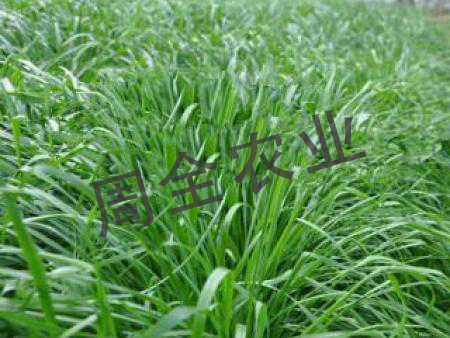那幾種適合養牛羊牧草種子生長速度快