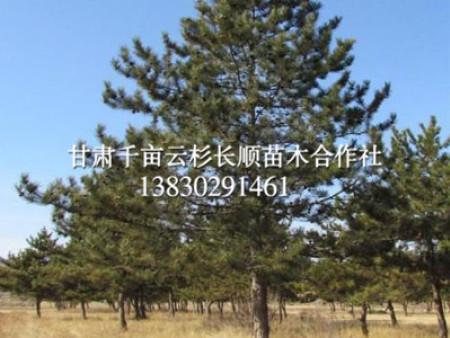 甘肃云杉 西北云杉苗木种植基地  【欢迎光临长顺】