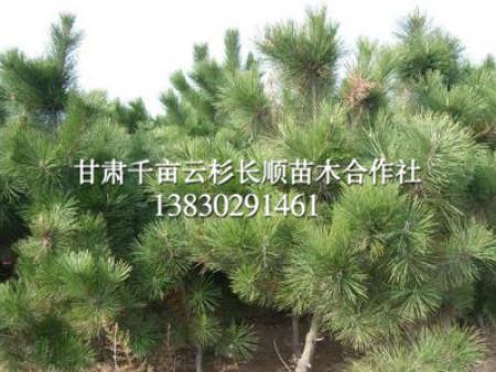 甘肃油松种植-成活率高的油松出售