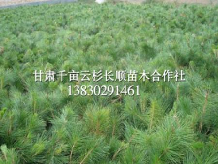 西北油松树苗批发-油松价格量大从优