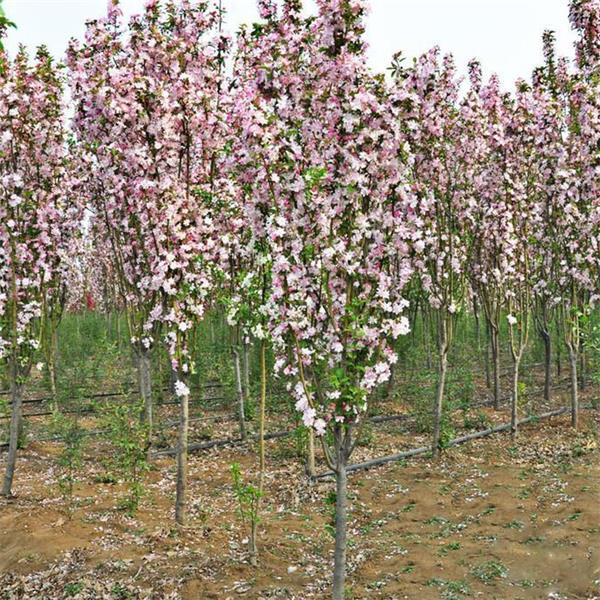 西府海棠行情,忠德花卉西府海棠品种优异