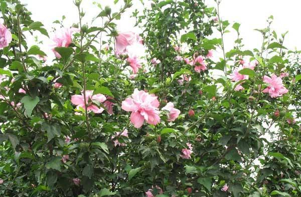 丛生木槿 忠德花卉专业供应丛生木槿