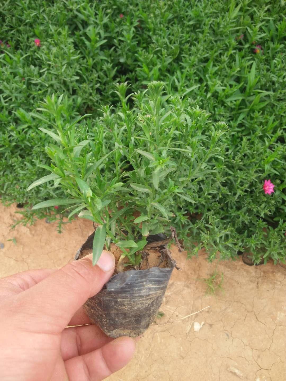 荷兰菊供应 出售荷兰菊杯苗 潍坊荷兰菊价格