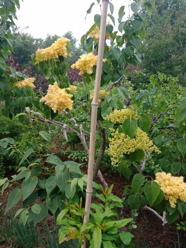 黄花丁香大量供应1-30公分