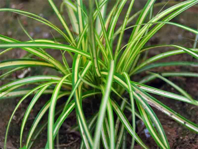 江苏苔草种植基地,专业的苔草提供商,当属合信花卉苗木