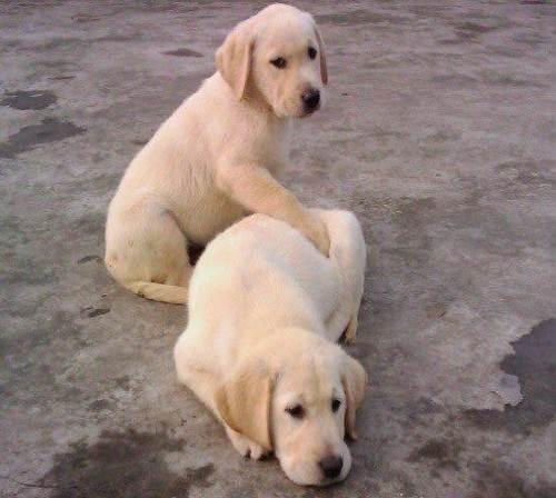 鞍山优惠的拉不拉多狗供应――上海拉不拉多犬多少钱一只