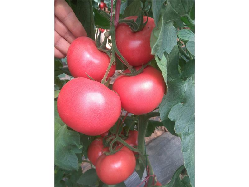 西红柿种苗销售商-品种好的西红柿种子推荐