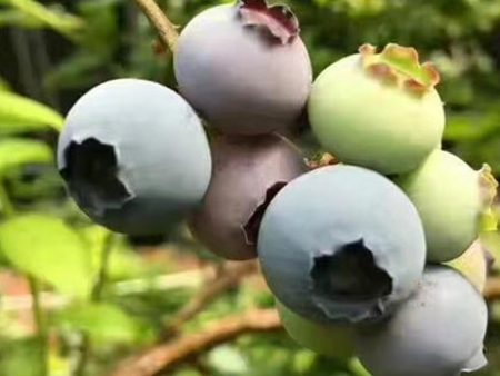锦州陆地蓝莓|价格合理的陆地蓝莓辽宁蓝沃农业科技供应