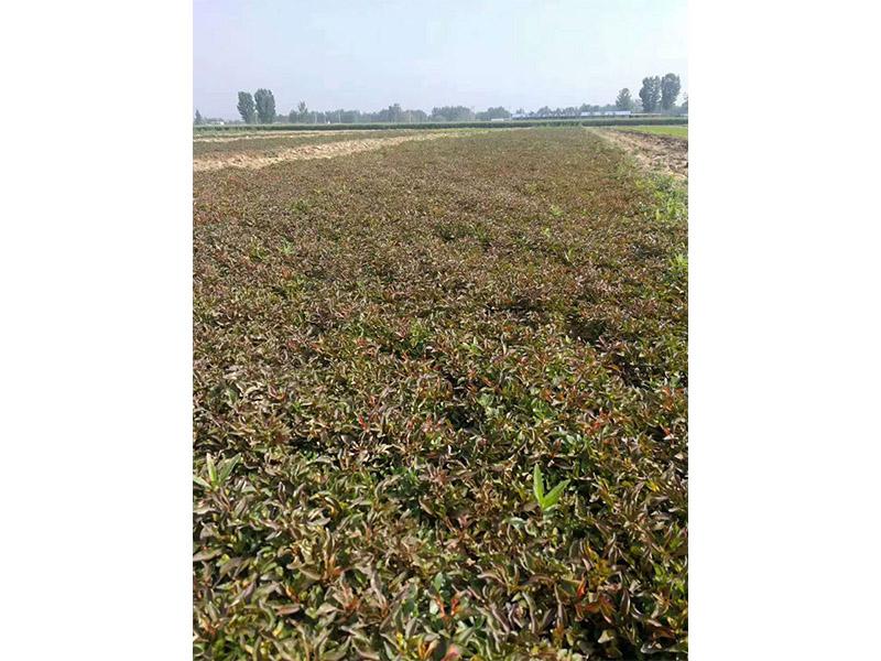 安徽菊花種苗-哪里能買到實惠的菊花種苗