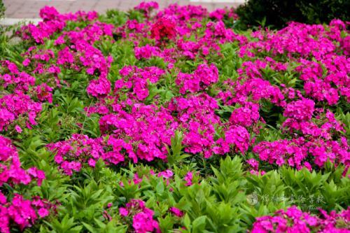 陕西福禄考-想买优惠的福禄考花-就到苍原花卉苗木