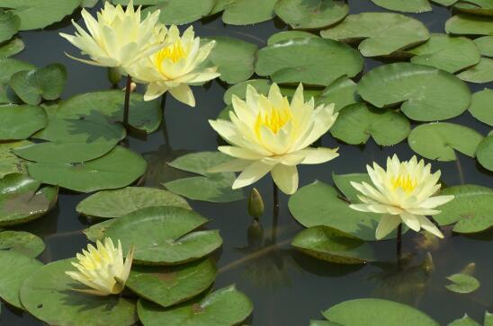 内蒙古睡莲-来苍原花卉苗木-买优惠的睡莲