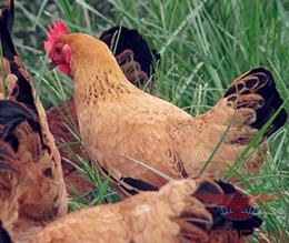 肉禽养殖厂家推荐温氏集团