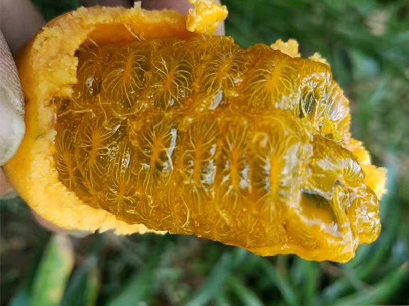 九月黄基地-上饶哪里有优惠的九月黄金蕉供应
