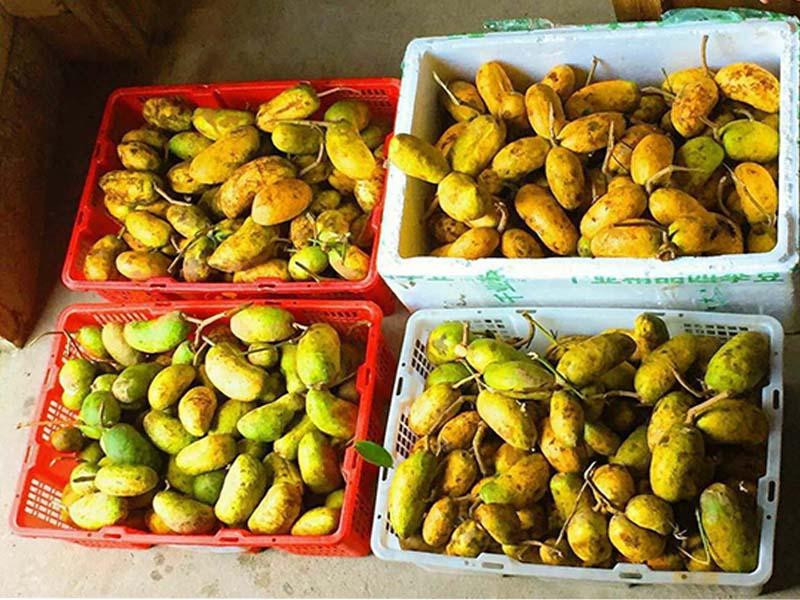 广东九月瓜-上饶口碑好的九月黄金蕉提供