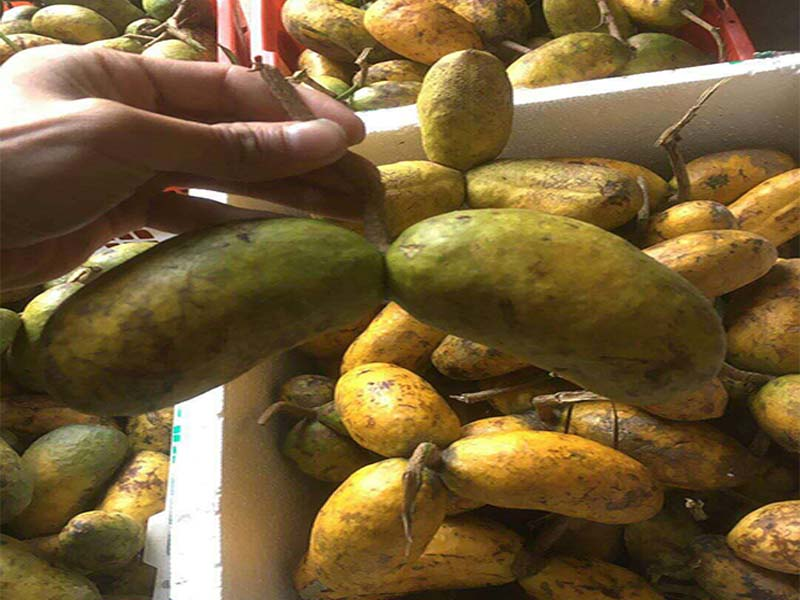 九月黄种九�υ僬f吧植-上饶哪里九月黄金蕉价格便宜