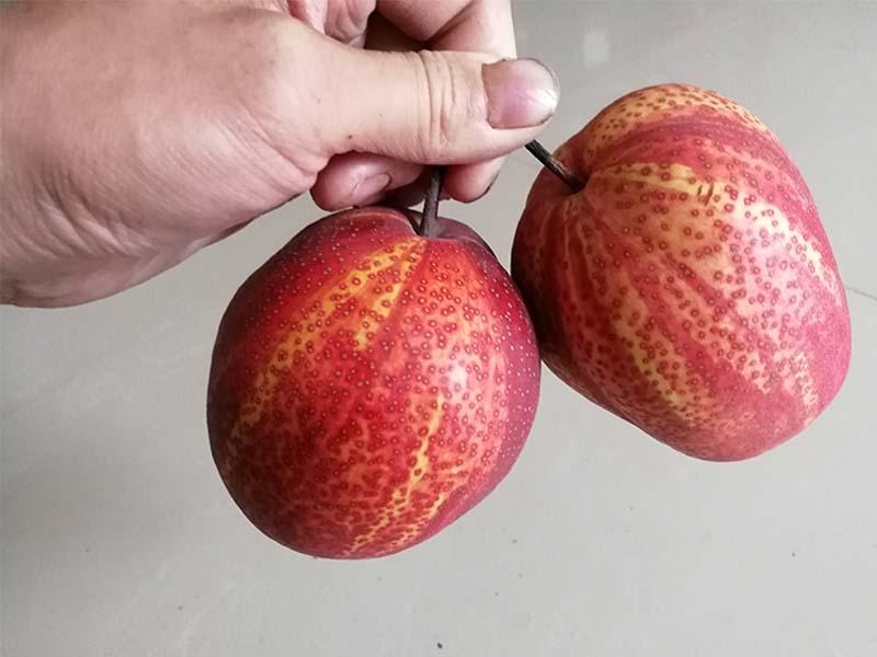 红酥梨加盟费-高质量的红酥梨齐乐果蔬供应