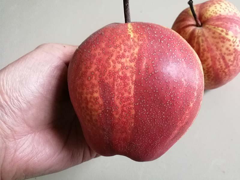 紅酥梨生產廠家_可靠的紅酥梨批發商