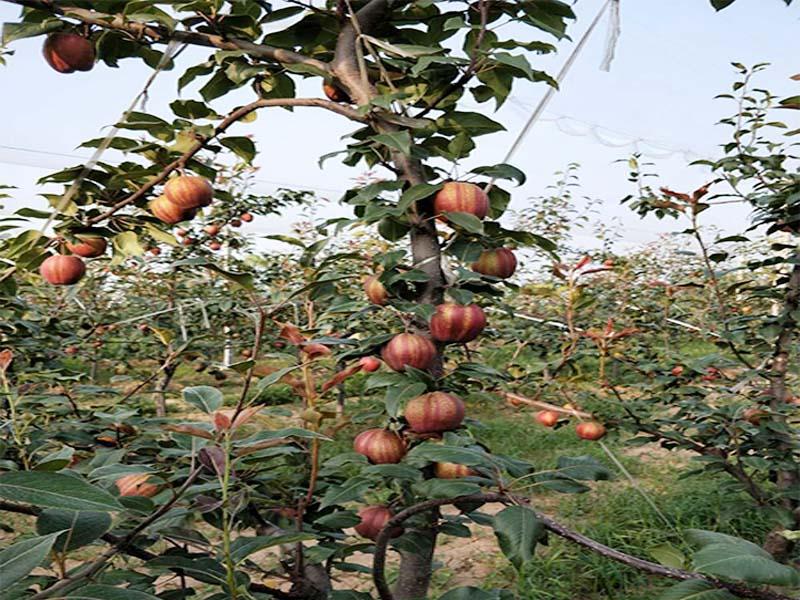 红酥梨品牌-上饶知名的红酥梨提供商