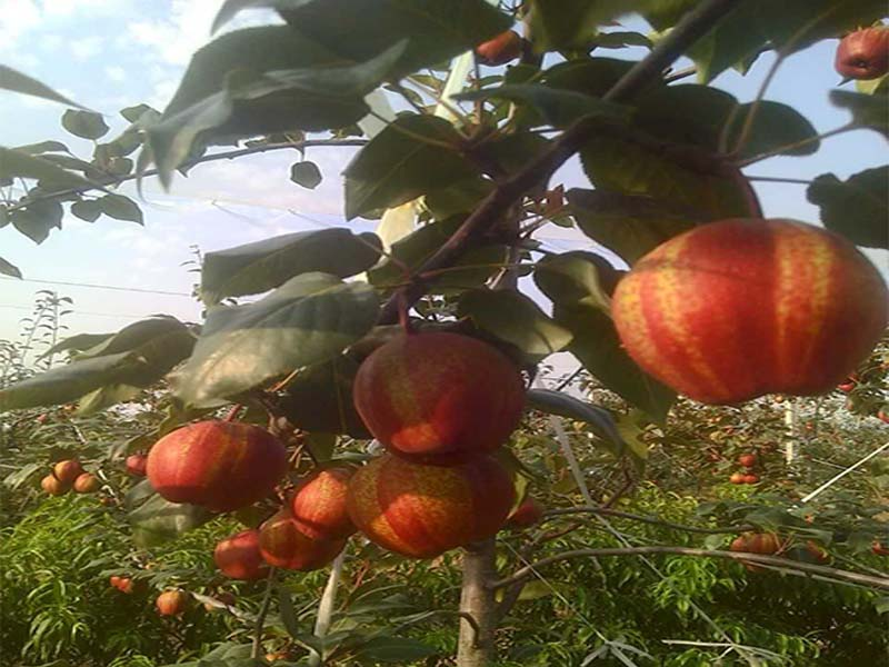 全国红酥梨哪家好-上饶好的红酥梨提供商