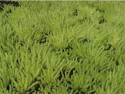 徐州五色草廠家推薦-徐州紅景天農業為您提供實惠的五色草種植