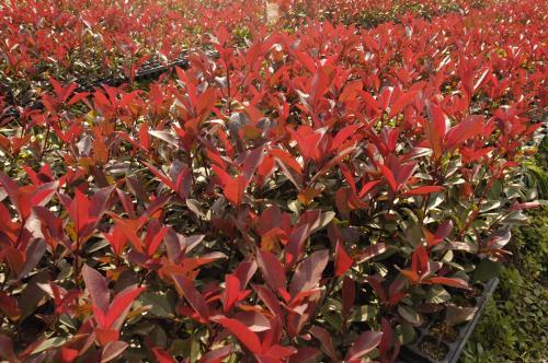 四川红叶石楠|潍坊信誉好的红叶石楠花经销商推荐