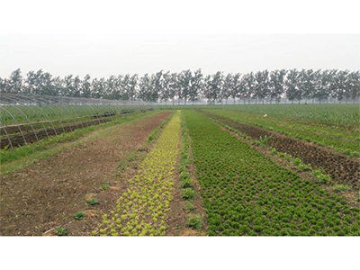 大田五色草廠家推薦_江蘇可信賴的大田五色草種植公司_徐州紅景天農業