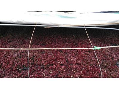 大棚五色草-资深的种植哪里有提供|大棚五色草