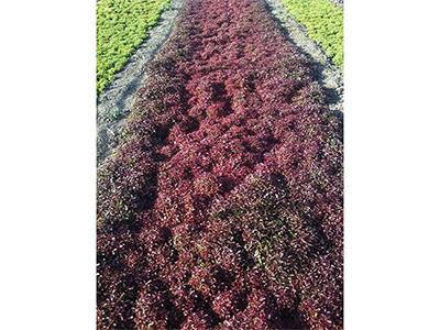 徐州矮桃紅五色草草圃價格|哪里有靠譜的矮桃紅五色草草圃
