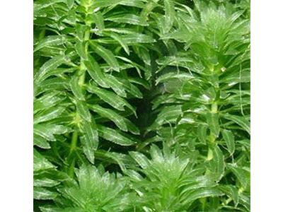 江西狐尾藻-宜春轮叶黑藻批发