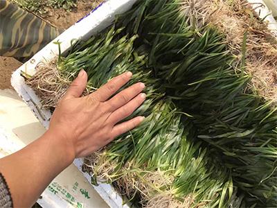 江苏矮生苦草厂家-大量出售矮生苦草
