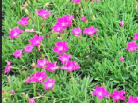 欧石竹适合什么季节种植