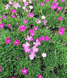 性价比高的石竹就在合信花卉苗木-常夏石竹种植基地