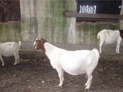 杜泊羊哪里有供应_杜泊羊养殖基地