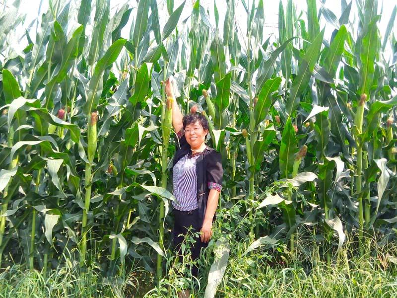 青贮玉米厂家那家更专业、品质高效