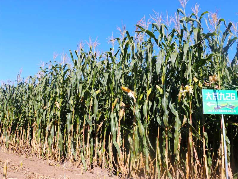 青贮玉米种子生产厂家批发哪里有?