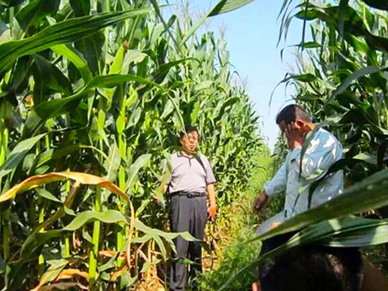 适合种植的青贮玉米种子
