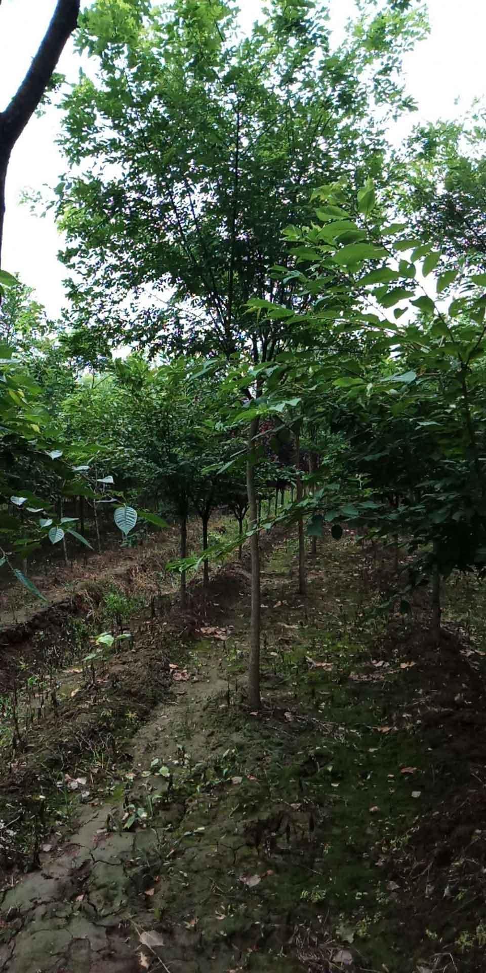 实惠的山东白蜡种植 想要易成活的国槐树就来天安苗木